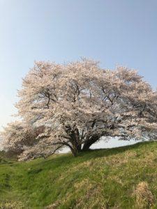 天理の1本桜